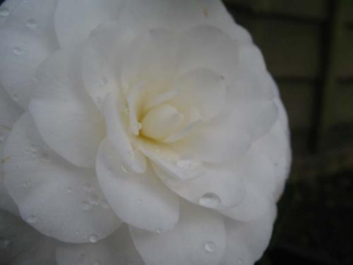 Photo of Camellia japonica 'Nobilissima' (Camellia)