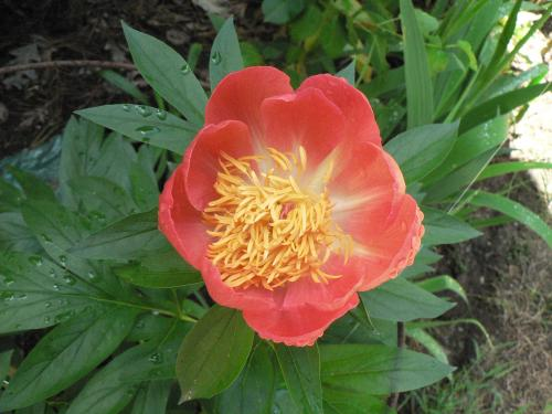 Photo of Paeonia 'Coral N Gold' (Peony)